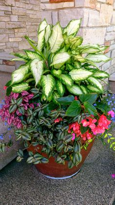 GREAT SITE FOR PHOTOS - Shown: Dumb cane (dieffenbachia), wandering jew, begonia, and don't know the spotted leafed plant.