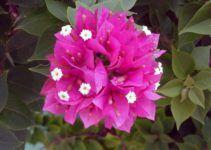 cara menanam bunga kertas tidaklah sulit. dan cara merawat bunga bougenville ini cukup mudah