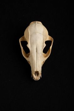 Red fox skull. Image credit: Josh Franzos/Carnegie Museum of Natural History