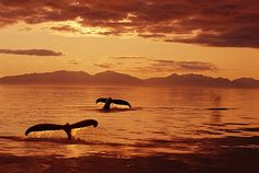 Humpback Whale Tails At Sunset by John Hyde