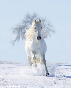 Snow Stallion and the Tree  Fine Art Horse Photograph by Carol Walker www.LivingImagesCJW.com
