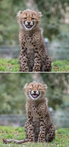 Cheetah Chuckles (Photos by Donald Veale)