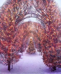 Pink trees at Christmas.