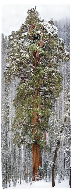 One Photo, 126 Frames, 2 Billion Leaves, 247 Feet Cloaked in the snows of California's Sierra Nevada, the 3,200-year-old giant sequoia called the President rises 247 feet. Two other sequoias have wider trunks, but none has a larger crown, say the scientists who climbed it. The figure at top seems taller than the other climbers because he's standing forward on one of the great limbs.   Michael Nichols/National Geographic