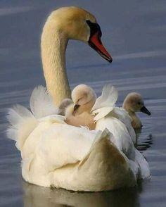 Baby swan (cignet) asleep on momma