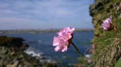 Thrift on the south head, Wick, Caithness