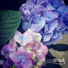 Shades of BloomStruck® Hydrangea