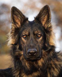 RSF: Resting Stud Face via Submitted November 21 2019 at. Long Coat German Shepherd, German Shepherd Puppies, German Shepherds, Cute Dogs And Puppies, Pet Dogs, Dog Cat, Doggies, Beautiful Dogs, Animals Beautiful