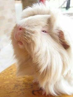 Sleepy, the lazy guinea pig