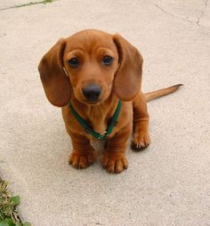 OMG!! I need one!! Miniature Mini Dachshund | Starring Rufus, my red smooth miniature dachshund | rufusontheweb