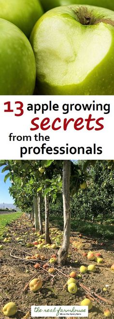 13 apple growing secrets from the pro's. These guys know how to get maximum production and bigger better apples. Here are their secrets