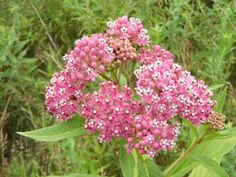 Milkweed Plant Growing and Care Tips - EnkiVillage