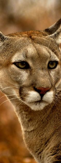 Cougar | The Wilderness Way Adventure Resort