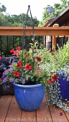 July garden chores. Sun Parasol Garden Crimson mandevilla with Surdiva Blue scaevola in a blue pot. I haven't a clue what that white thing is on the container, but the plants were sent to me from Suntory.