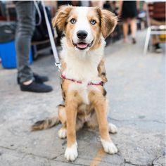 "Briscoe, Labrador Retriever/Australian Shepherd mix (6 m/o), Jay & Front St., Brooklyn, NY • ""She's from the South. Her mother was a black Lab and each of her puppies looked just like this."" https://instagram.com/thedogist/"