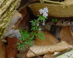 The Cut Leaved Toothwort is one of the early arrivals on the woodland floor in the spring in Indiana. Spring Wildflowers, Early Spring, Wild Flowers, Indiana, Woodland, Leaves, Floor, Vegetables, Plants