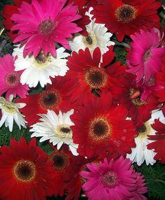Gerberas in Sherwani Nainital by Naveen Joshi … Nainital, Bunch Of Flowers, Sherwani, Dream Garden, World, Daisies, Roses, Plants, Flowers