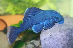 blue panaque pleco is so pretty. I want one!