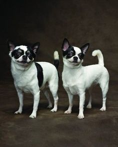 Chihuahuas ::: These cute Chi could be bandits for Halloween with their eye markings. Lorr
