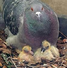 Pedigree pigeon with her young..