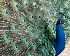 Peacock photograph Fine art nature photography by PenumbraImages, 25.00