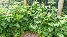 Raspberry Canes, Fruit Cage, Fruits And Vegetables, Asparagus, Plants, Fruits And Veggies, Plant, Planting, Planets