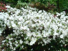 white azalea bush - Google Search