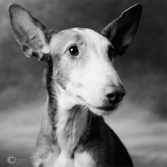 Ibizan Hound - cousin to my favorite grays!