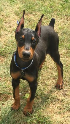 233 Best Doberman pinscher images in 2019 | Doberman