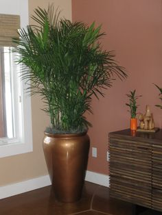 This Chamaedora erumpens, or Bamboo palm is completely at home in this residential account.  Love the plant and container combo!  Client has great taste in decorating!