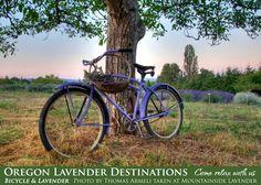 Oregon Lavender Association Photo Contest 2010 - Photo by Thomas Armeli taken at Mountainside Lavender.