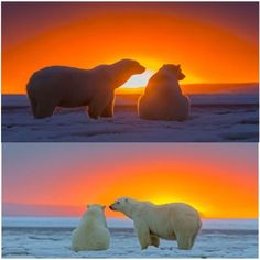 Such a beautiful sunset admired and polar bears