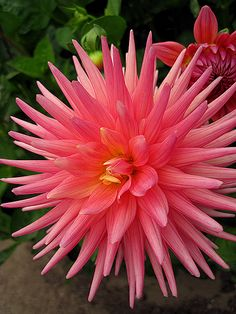 "Perfect Pink cactus dahlia - ""Cactus is symbolic of the manifestation of riches and beauty. It reminds us that if we work hard enough, put the time and effort in, our sacrifices are work will be rewarded ten fold. It gives hope in finances and a new life in a time of depression and darkness"" (found @ http://m.voices.yahoo.com/spiritual-meanings-flowers-alphabetical-guide-540333.html)"
