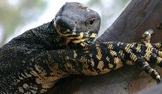 This Lace Monitor (so called because of the lacey pattern on it's underside) was photographed in a tree in the Chiltern-Ironbark National Park VIC on the O Donnell, Reptiles, Mammals, Crested Pigeon, Lacey Pattern, Brain Coral, Green Tree Frog, Daintree Rainforest
