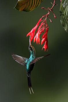 Beija flor ou Colibri - Hummingbird