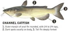 channel catfish - - Yahoo Image Search Results