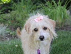 I fostered Loren in 2014 Meet LOREN, a Petfinder adoptable Maltese Dog   Newport Beach, CA   You may meet and apply to adopt Loren at our ADOPTION EVENT on SUNDAY, JULY 22nd from 12 Noon -...