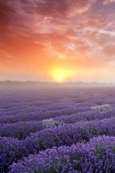 tulipnight:  lavender byMohit Ghanawat