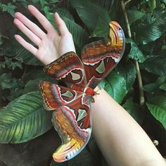 The atlas or cobra butterfly (Attacus atlas (Linnaeus, is a moth belonging to the Saturniidae Most Beautiful Butterfly, Beautiful Bugs, Kobra, Cute Moth, Large Moth, Colorful Moths, Giant Butterfly, Atlas Moth, Cool Bugs