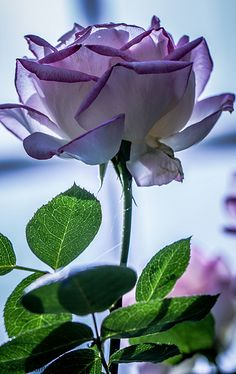 Purple rose :)