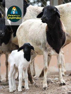 Su coloración es mitad blanca y la otra mitad negra. Los machos tienen cuernos que emplean como defensa. La hembra pare una sola cría. Rebaños de esta especie son criados por ganaderos nativos, los que protegen su ganado de la chita, su principal predador. Es herbívoro. ¿Sabías qué? Las diferencia con la oveja común no solo esa curiosa tonalidad bicolor, también el hecho de no poseer lana, solo pelos comunes.