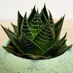 Order Sansevieria Plant In Beautiful Pot online for delivery in sgp. Send Sansevieria Plant In Beautiful Pot to your loved ones with Ferns N Petals. Potted Ferns, Sansevieria Plant, Balloons Online, Funeral Flowers, Snake Plant, Planting Flowers, Plant Leaves, Best Gifts, Green