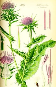 Healing herbs or more commonly known as medicinal herbs are said to be effective when it comes to healing certain allergies as well as renewing and increasing vitality in the body. Medicinal herbs have been in use for centuries and are recognized as. Vintage Botanical Prints, Botanical Drawings, Botanical Illustration, Botanical Art, Healing Herbs, Medicinal Plants, Milk Thistle Benefits, Illustration Botanique, Wild Edibles