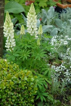lupine, boxwood, lamb's ear and more...