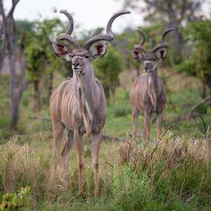 theglobalphotographer - Greater Kudu, Okavango Delta, Botswana. #kudu #Africa #okavangodelta #safari #wildlife #animal #animals #nature