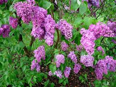 lilacs in Highland Park near my grandmother's house in Rochester NY