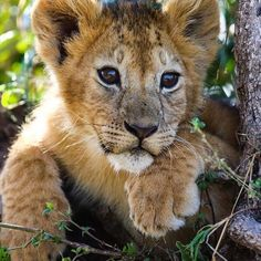 Cubs tattoo, cute lion, nature animals, baby animals, animals and pets Nature Animals, Animals And Pets, Beautiful Cats, Animals Beautiful, Big Cats, Cats And Kittens, Lion Photography, Lion Images, Cute Lion