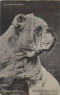 CHAMPION BULL DOG, A BEAUTY
