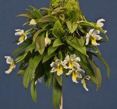 Trichocentrum popowianum - Plant in Flower