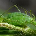 Aphids How to identify eliminate get rid of garden pests